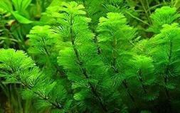 *BUY 2 Get 1 FREE* Green Cabomba Live Fish Tank Plants Aquar
