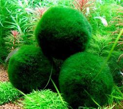 Giant Marimo Moss Ball  Live Cladophora Moss Aquarium Shrimp
