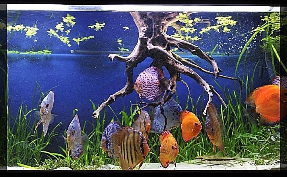 SUPER AQUARIUM FISH TANK SAND DISCUS CICHLID