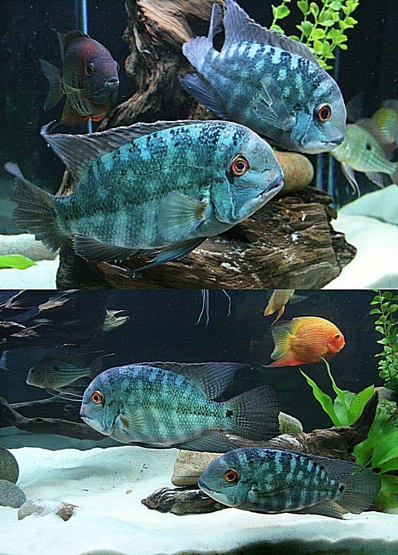 super white aquarium fish tank sand discus