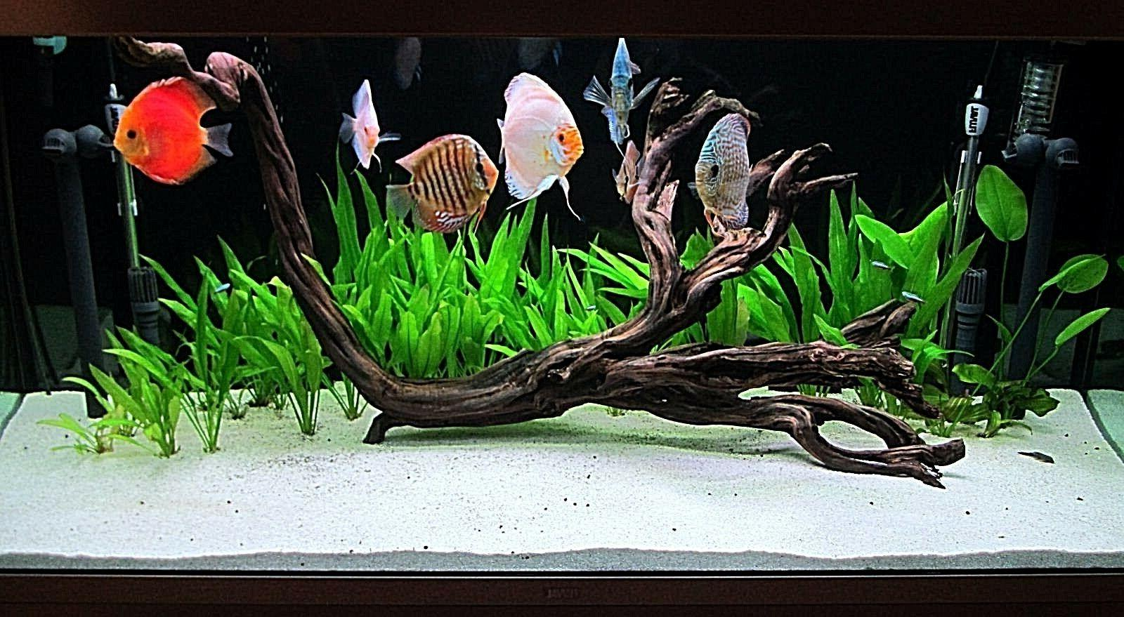 FISH TANK DISCUS CICHLID'S SEVERUM'S SUPER WHITE 42 LB'S