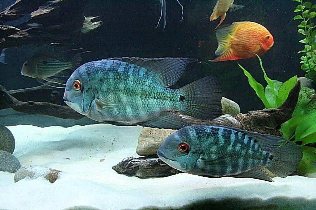 white fish tank aquarium sand discus cichlid