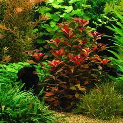 "Ludwigia Repens ""Rubin"" - Live Aquarium Plants Bunch Fish Ta"