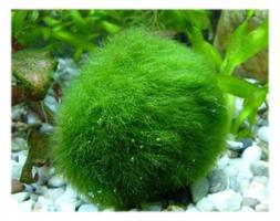 Marimo Moss 5 Balls Large Size 2~3cm Great for Tank Fish or